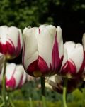Economic Bubble – The Great Dutch Tulip Craze